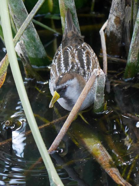 Ed Gaillard: birds &emdash; Sora, Green Cay