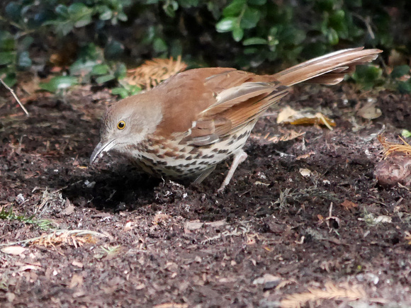 Ed Gaillard: birds &emdash; Brown Thrasher, International Paper Plaza