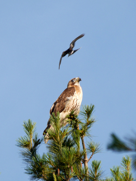 Ed Gaillard: birds &emdash; Eastern Kingbird mobbing Red-Tailed Hawk, Central Park