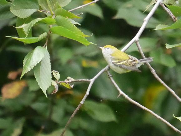 Ed Gaillard: birds &emdash; Chestnut-Sided Warbler