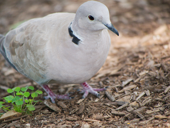 Ed Gaillard: birds &emdash; Eurasian Collared-Dove, Pier 63, Hudson River Greenway
