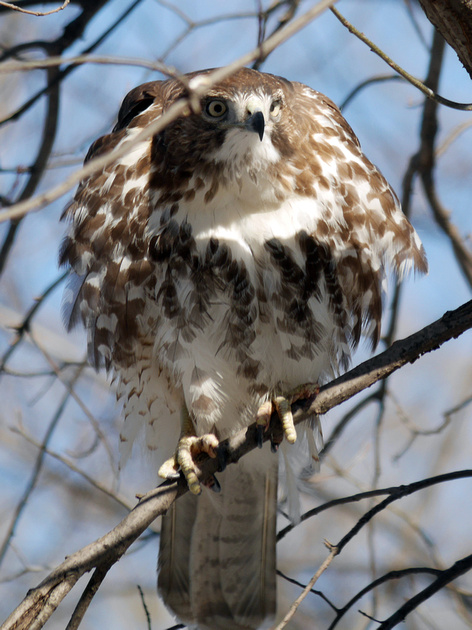 Ed Gaillard: birds &emdash; Fluffed-up Red-Tailed Hawk, Central Park