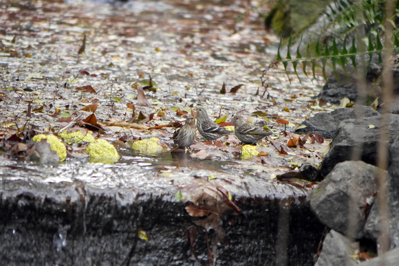 Ed Gaillard: birds &emdash; Pine Siskins bathing, Central park