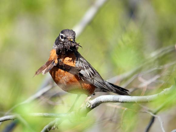 Ed Gaillard: birds &emdash; American Robin with nesting material, Central Park