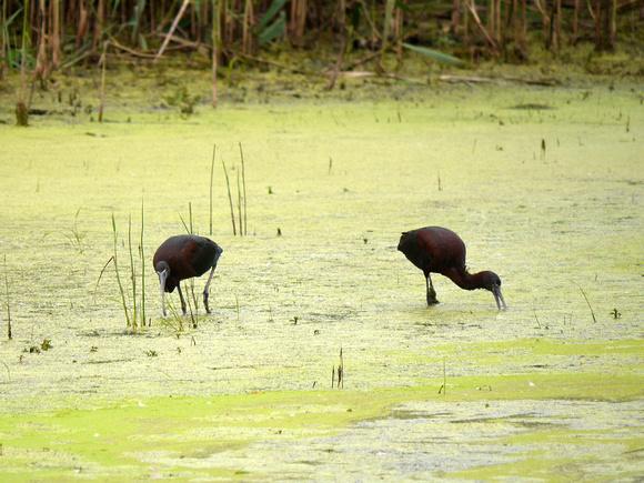 Ed Gaillard: birds &emdash; Glossy Ibises, Big John's Pond, Jamaica Bay NWR