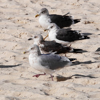 Herring and Lesser Black-Backed Gulls, New Providence, Bahamas