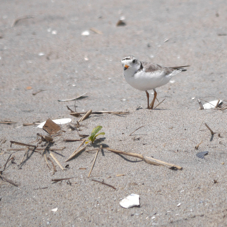 Piping Plover, Fort Tilden, Queens
