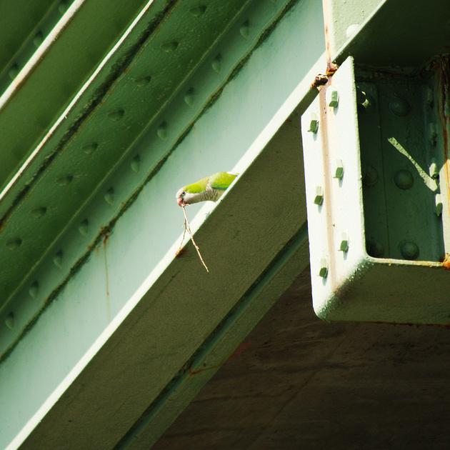 Ed Gaillard: birds &emdash; Monk Parakeet, Henry Hudson Parkway