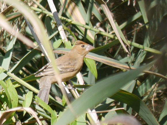 Ed Gaillard: birds &emdash; Blue Grosbeak, Central Park