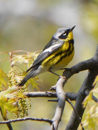 Ed Gaillard: birds &emdash; Magnolia Warbler, Central Park