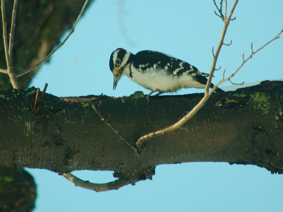 Ed Gaillard: birds &emdash; Hairy Woodpecker, Central Park