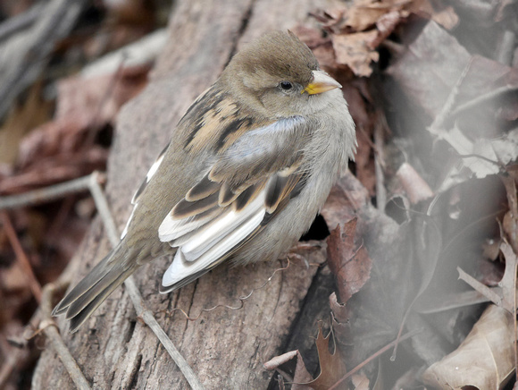 Ed Gaillard: birds &emdash; House Sparrow, Central Park