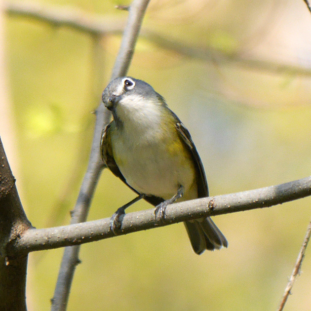 Ed Gaillard: birds &emdash; Blue-Headed Vireo