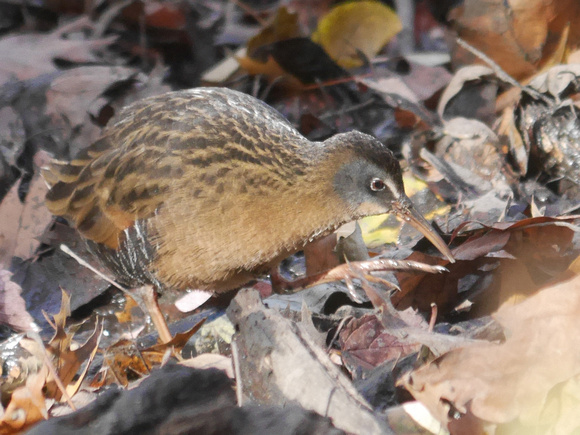 Ed Gaillard: birds &emdash; Virginia Rail, Central Park