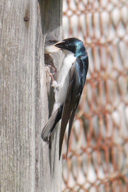 Ed Gaillard: birds &emdash; Tree Swallow feeding nestling, Hobart NY