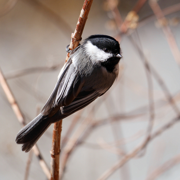 Ed Gaillard: birds &emdash; Black-Capped Chickadee, Central Park
