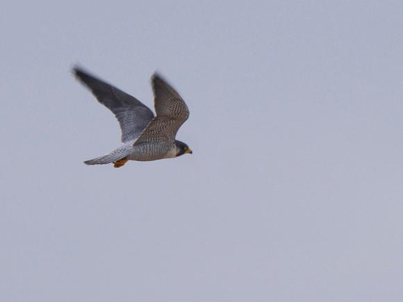 Ed Gaillard: birds &emdash; Peregrine Falcon, Randall's Island