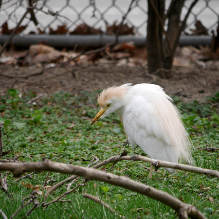 Cattle Egret, Penn South, Manhattan