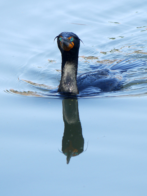 Ed Gaillard: birds &emdash; Double-Crested Cormorant, Turtle Pond