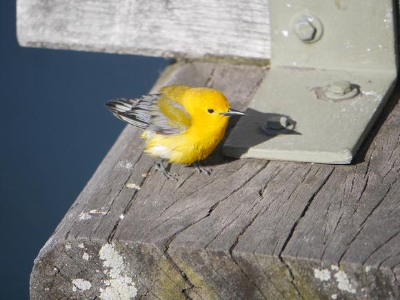 Ed Gaillard: birds &emdash; Prothonotary Warbler, Central Park