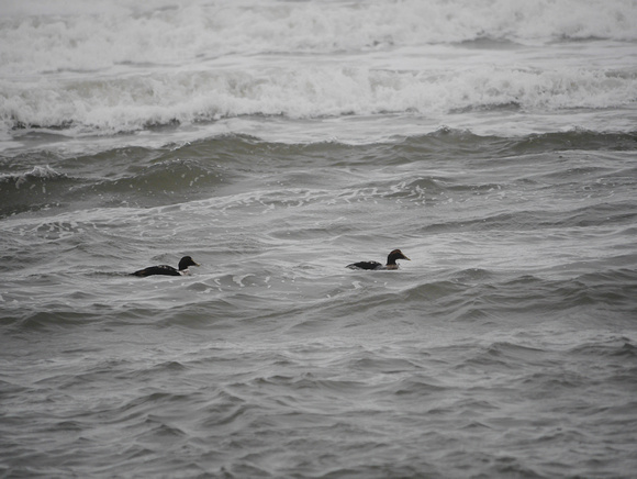 Ed Gaillard: birds &emdash; Common Eider, Fort Tilden