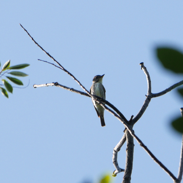 Ed Gaillard: birds &emdash; Olive-Sided Flycatcher, Azalea Pond