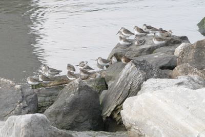 Ed Gaillard: recent &emdash; Semipalmated and Least Sandpipers, Muscota Marsh, Inwood Hill Park