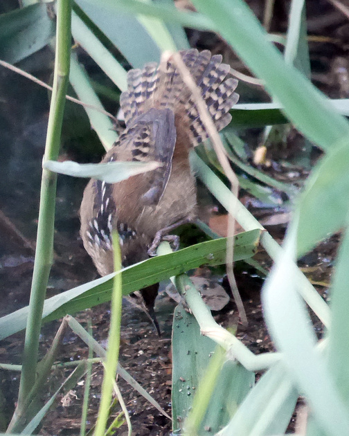 Ed Gaillard: birds &emdash; Marsh Wren, Central Park