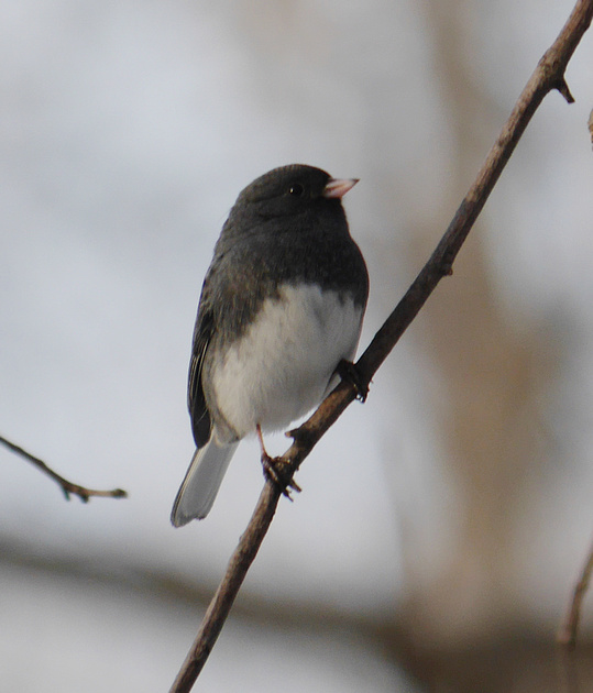 Ed Gaillard: birds &emdash; Junco, central park