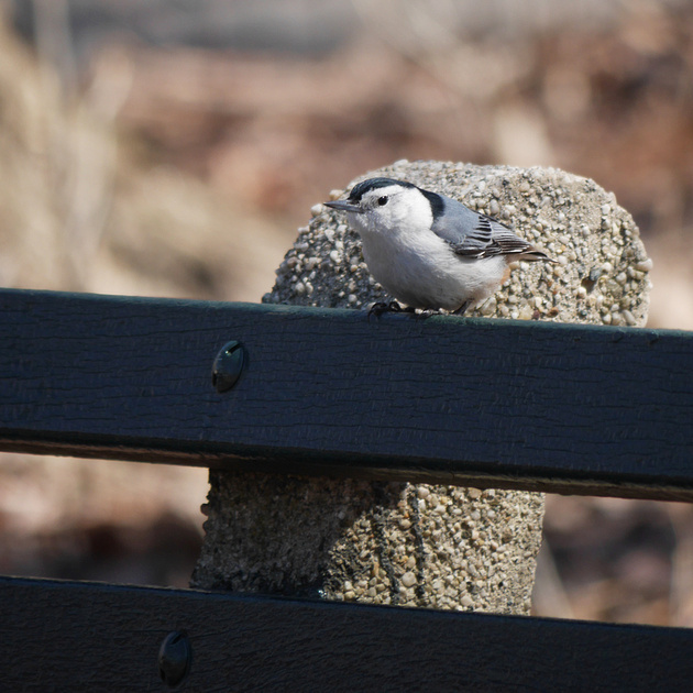 Ed Gaillard: birds &emdash; White-Breasted Nuthatch, Central Park