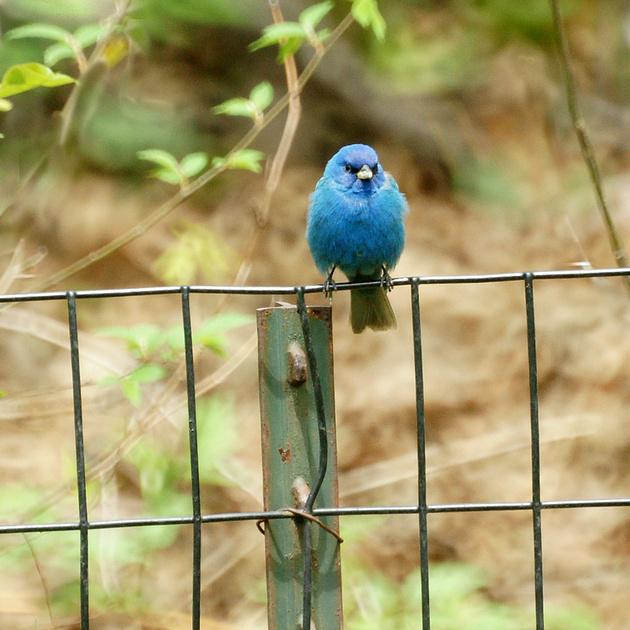 Ed Gaillard: birds &emdash; Indigo Bunting, Central Park