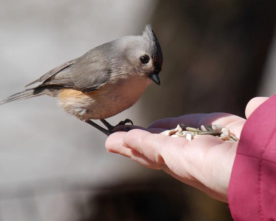 Ed Gaillard: birds &emdash; Elena feeding a Titmouse