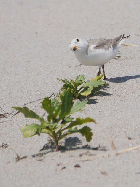 Ed Gaillard: birds &emdash; Piping Plover, Fort Tilden, Queens