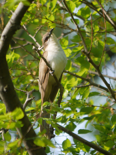 Ed Gaillard: birds &emdash; Black-Billed Cuckoo, Central Park