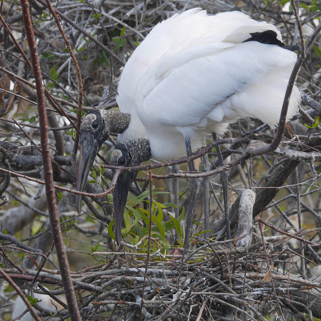 Ed Gaillard: birds &emdash; Wood Storks at nest, Wakodahatchee Wetlands, Florida