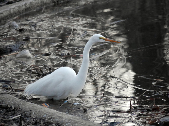 Ed Gaillard: birds &emdash; first Great Egret of Spring, Turtle Pond