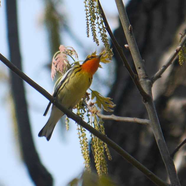 Ed Gaillard: birds &emdash; Blackburnian Warbler, Central Park
