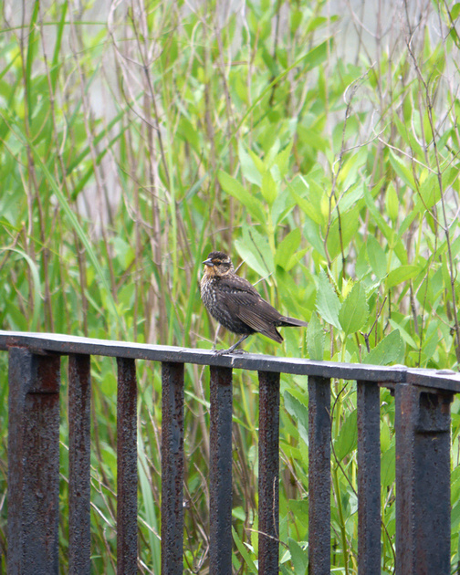 Ed Gaillard: birds &emdash; Red-Winged Blackbird, Inwood Hill Park