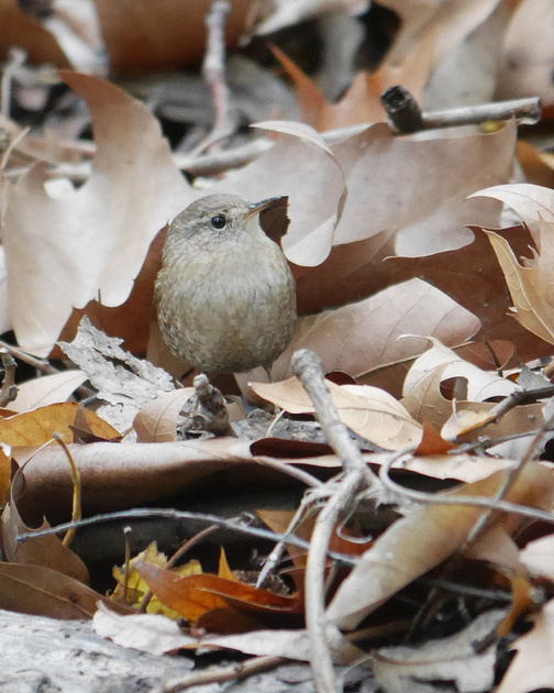 Ed Gaillard: birds &emdash; Winter Wren, Central Park
