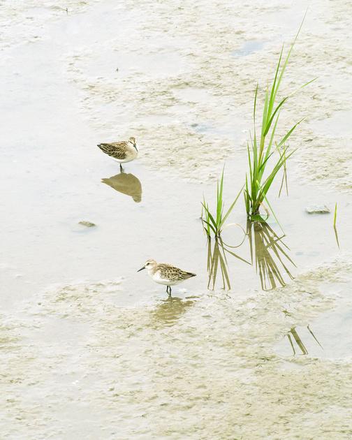Ed Gaillard: birds &emdash; Semipalmated Sandpipers, Inwood Hill Park