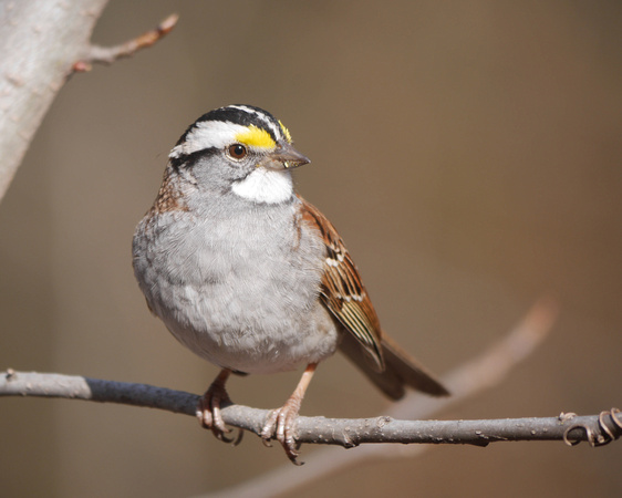 Ed Gaillard: birds &emdash; White-Throated Sparrow, Central Park