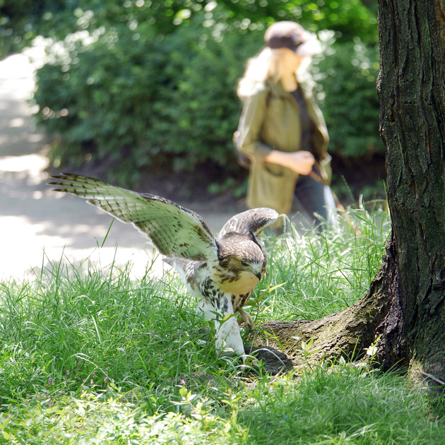 Ed Gaillard: birds &emdash; Red-Tailed Hawk fledgeling Central Park