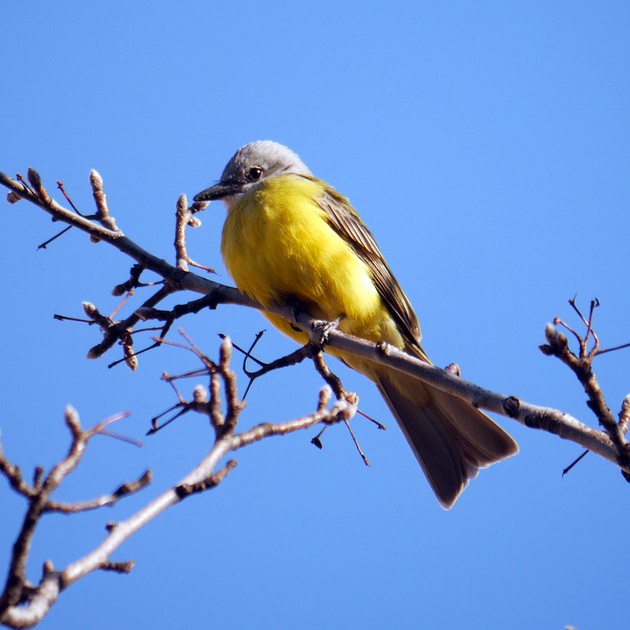 Ed Gaillard: birds &emdash; Couch's Kingbird, Abingdon Square