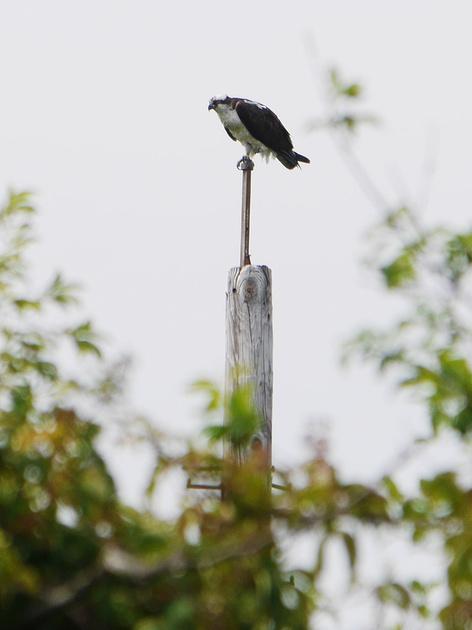 Ed Gaillard: birds &emdash; Osprey, Jamaica Bay NWR