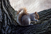 Hungry squirrel, Central Park