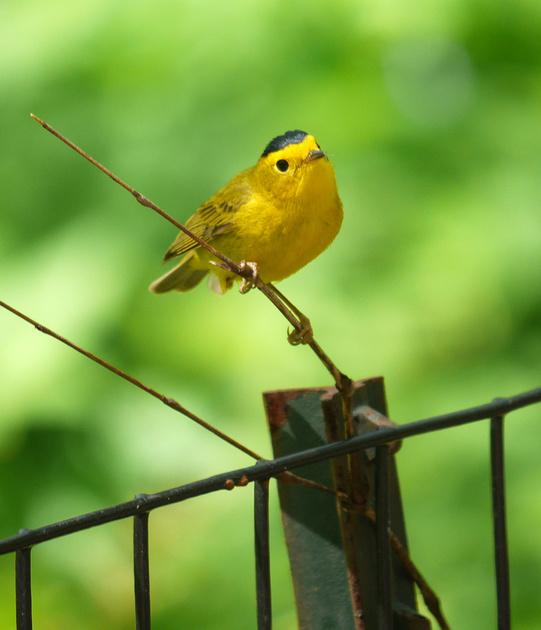 Ed Gaillard: birds &emdash; Wilson's Warbler, Central Park