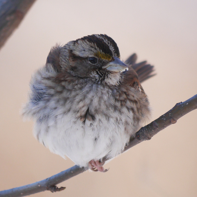 Ed Gaillard: birds &emdash; White-Throated sparrow, fluffy