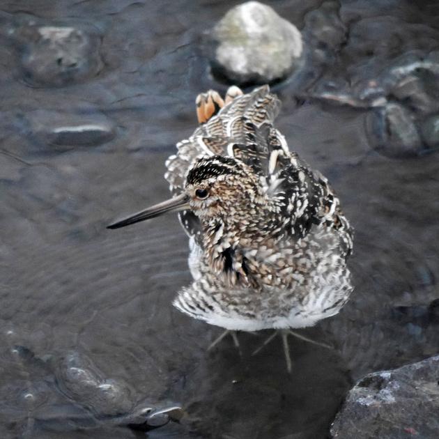 Ed Gaillard: birds &emdash; Wilson's Snipe, Central Park