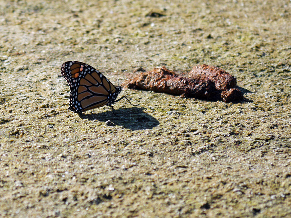 Ed Gaillard: birds &emdash; Monarch Butterfly, Jamaica Bay