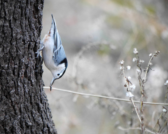 Ed Gaillard: birds &emdash; White-Breasted Nuthatch